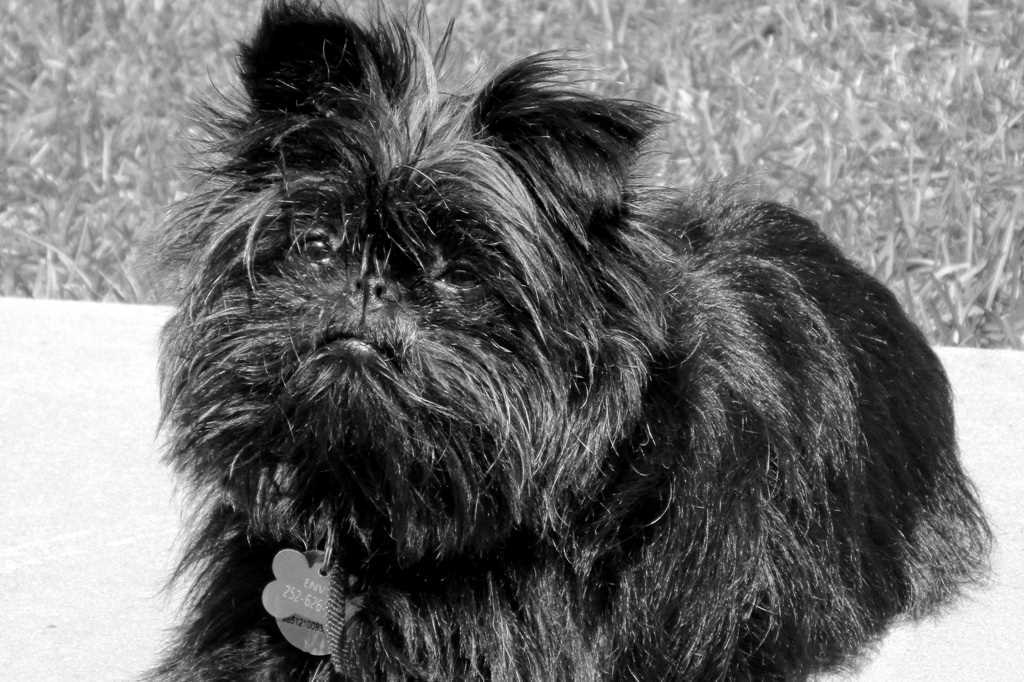 The Affenpinscher dog breed