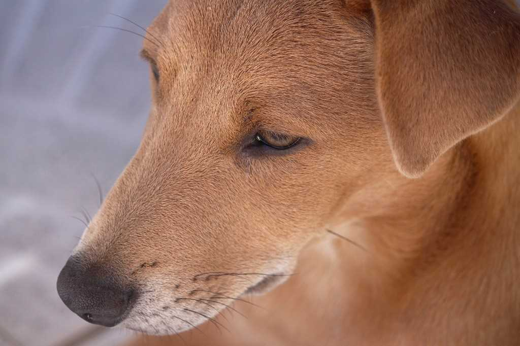 The Africanis dog breed