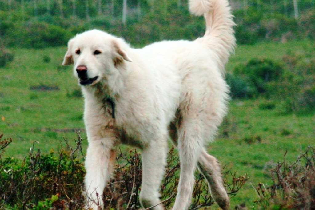 La razza canina Akbash