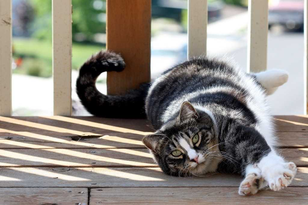 The American Shorthair feline breed