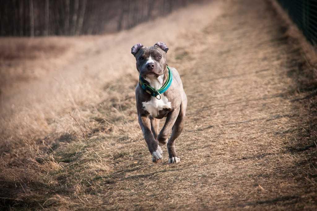 La razza canina American Staffordshire Terrier