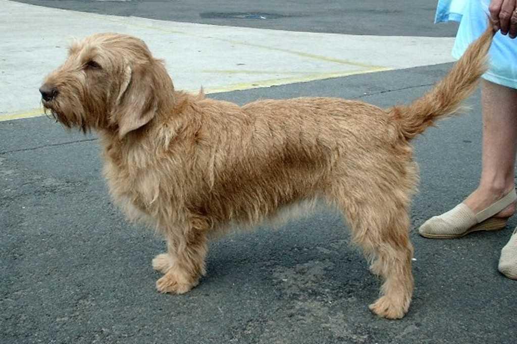 La raza canina Basset Fauve de Bretagne