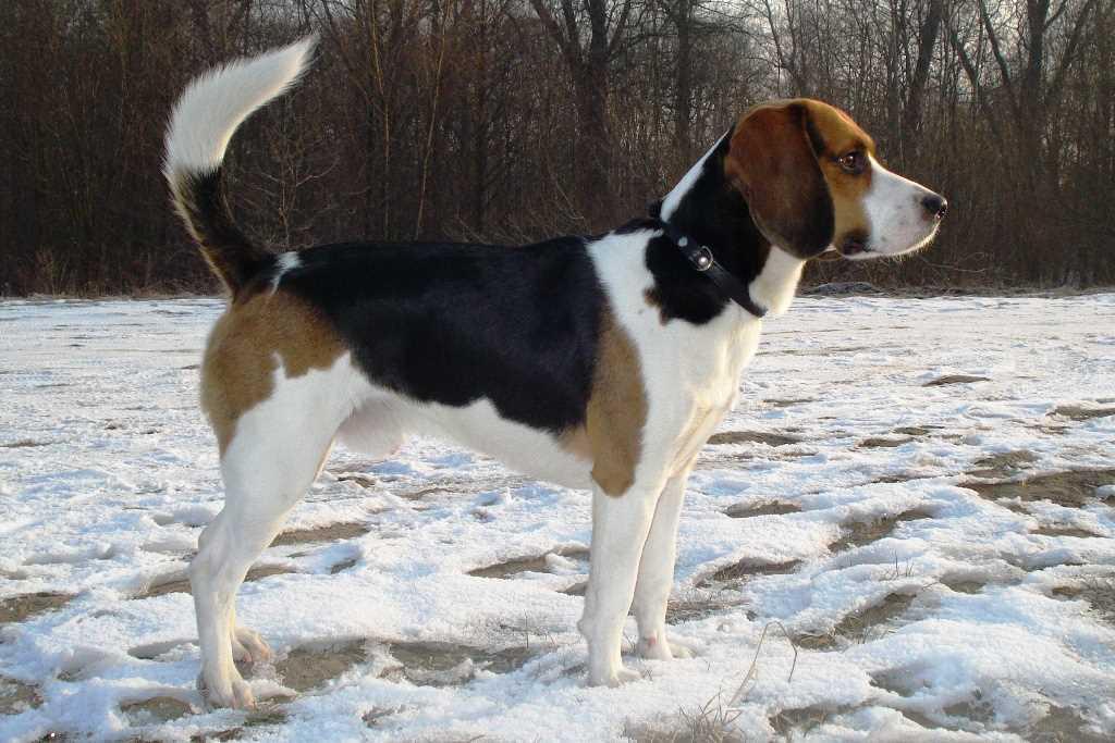 La raza de perro beagle harrier
