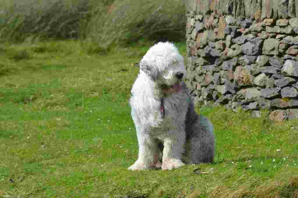 The bobtail dog breed