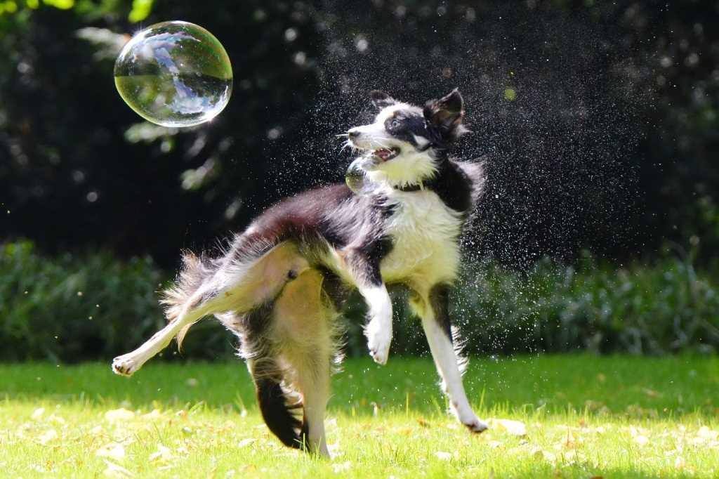 La race de chien Border Collie