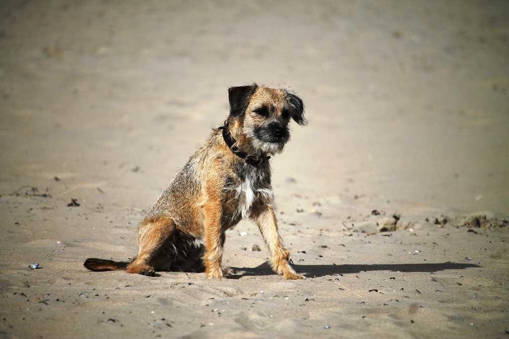 La razza canina Border Terrier