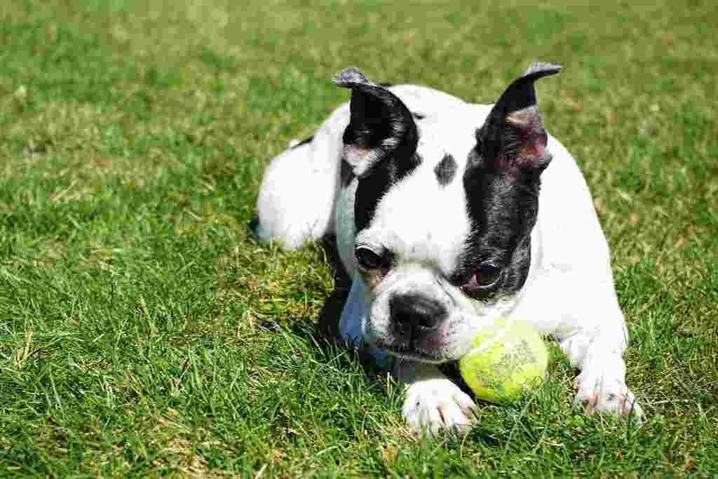 La razza canina Boston Terrier