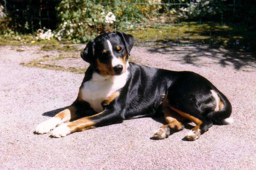 La razza canina bovaro dell'Appenzell