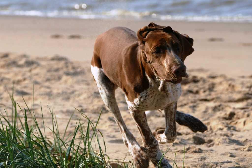 La razza canina bracco Italiano