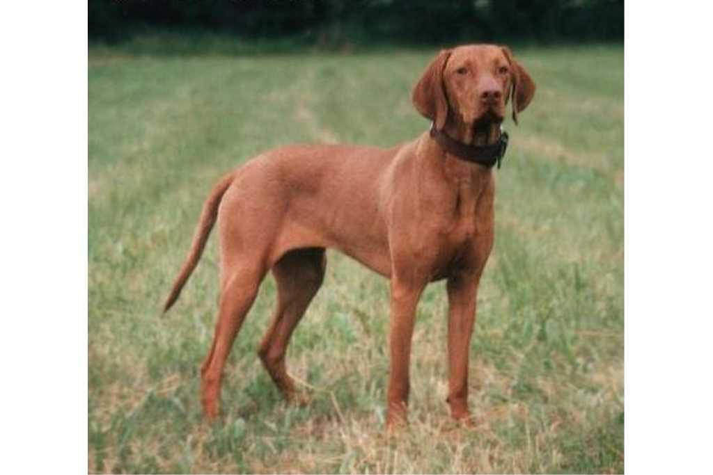 Rasa psów VIZSLA Hungarian Brahmin