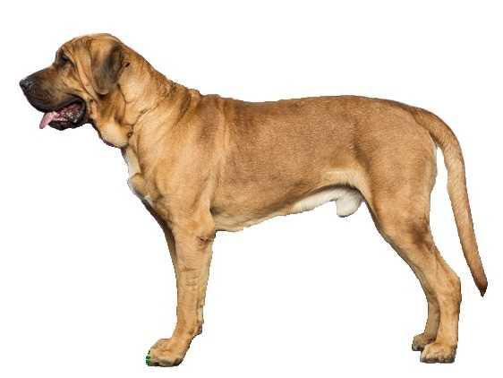 La razza canina Broholmer
