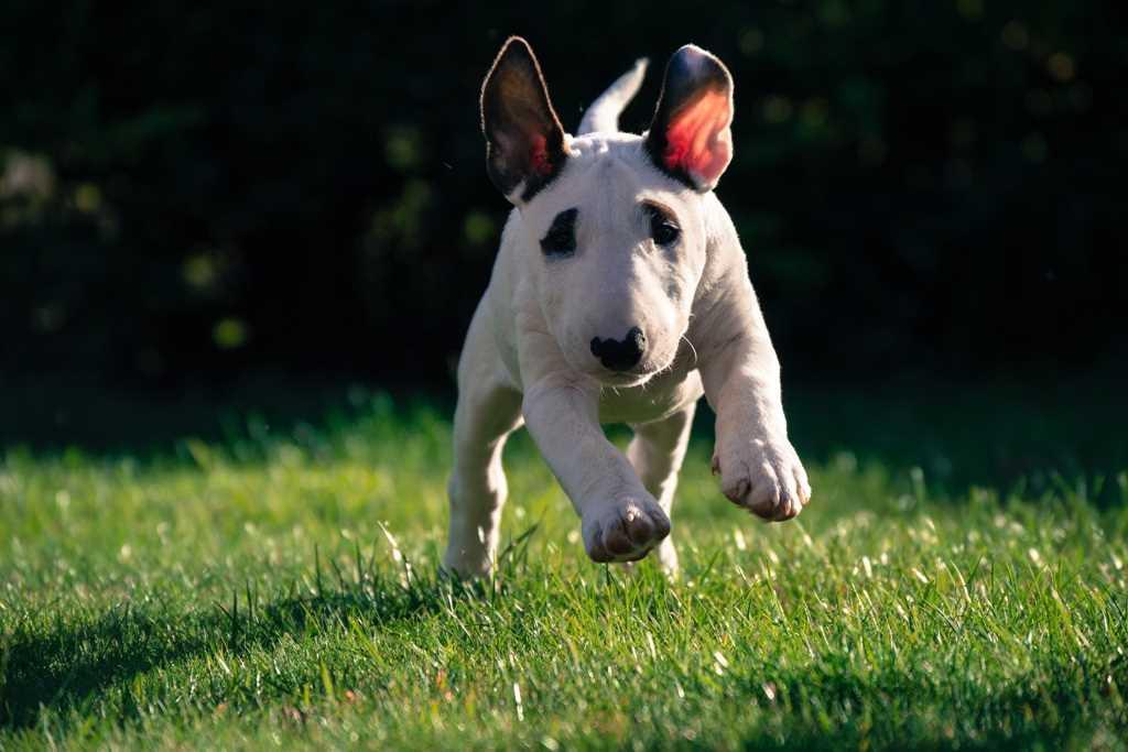 La race canine Bull Terrier