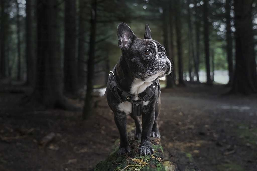 La razza canina Bulldog Francese