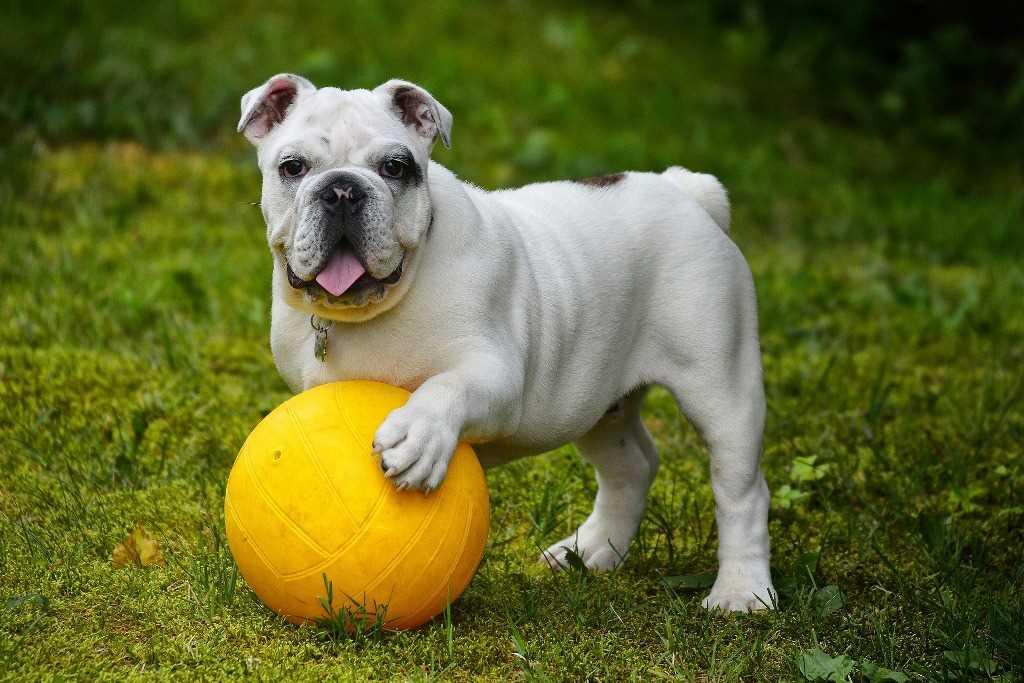 Die Englische Bulldogge als Hunderasse