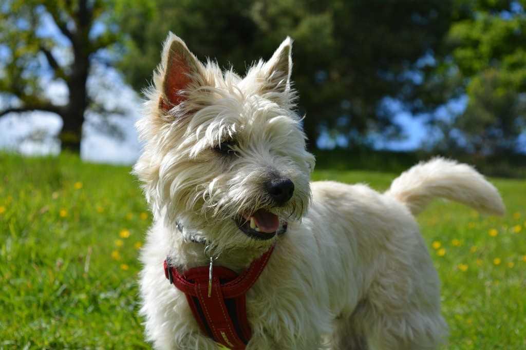 La razza canina Cairn Terrier