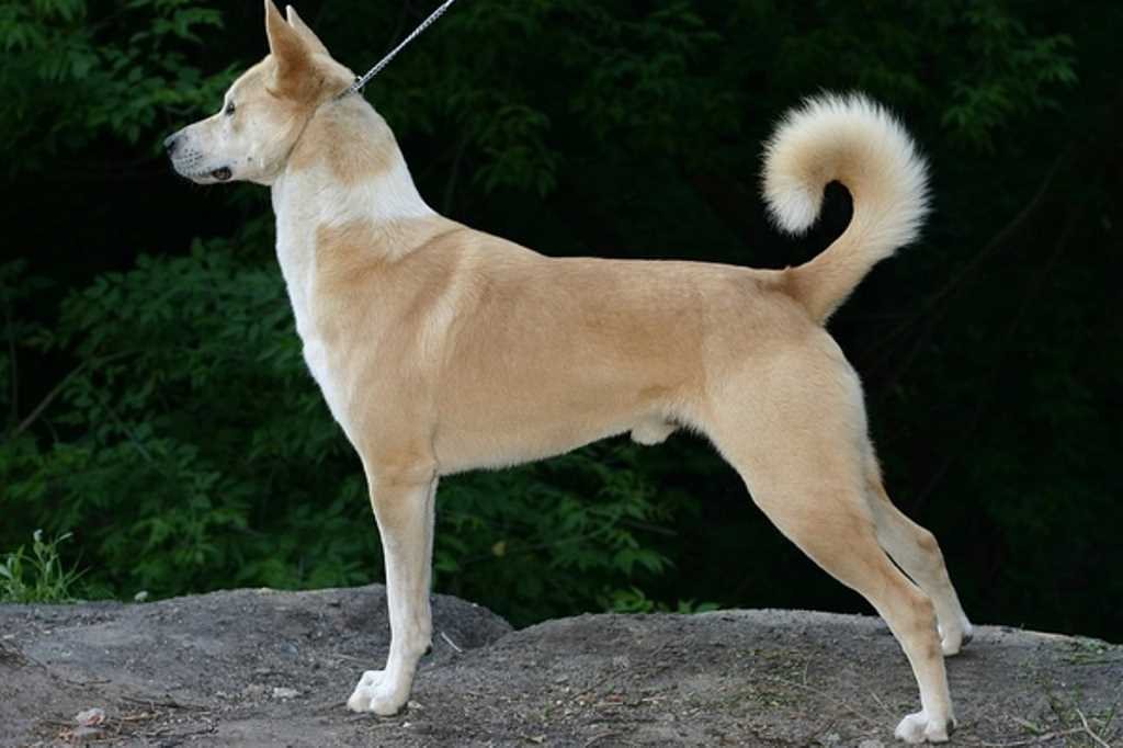 The Canaan Dog breed