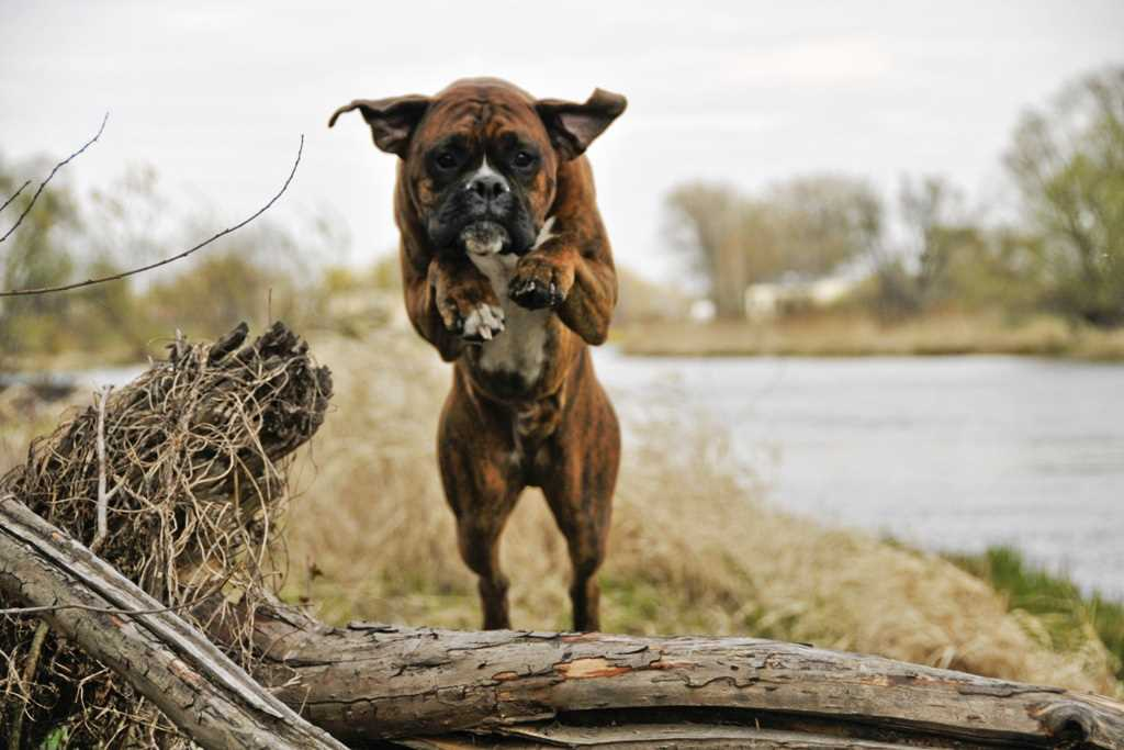 La razza canina boxer
