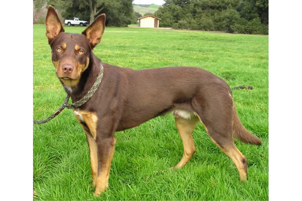 La razza canina Cane da Pastore Australiano Kelpie
