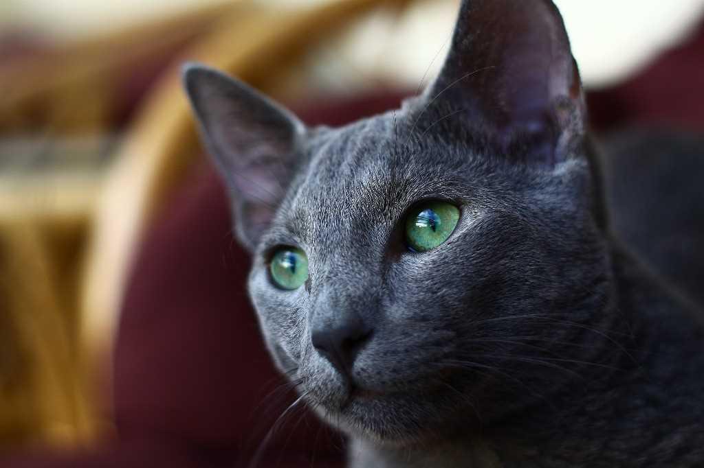 Blue Cat of Russia