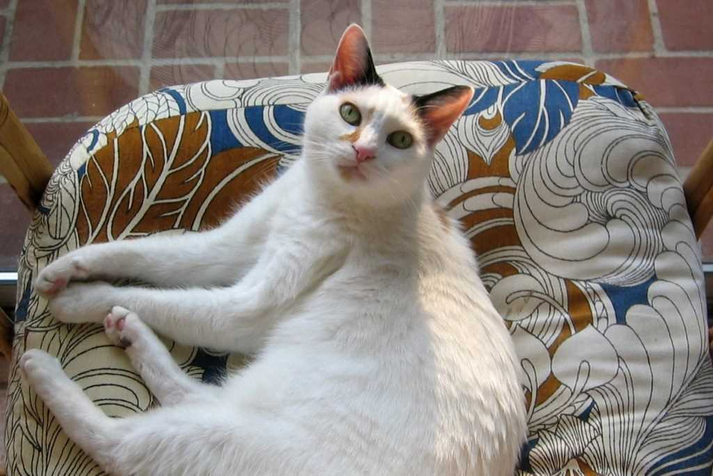 Gatto Bobtail Giapponese