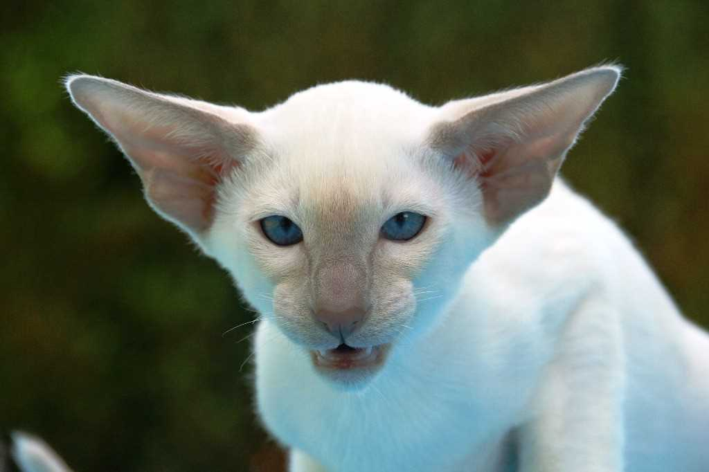 Chat Foreign White
