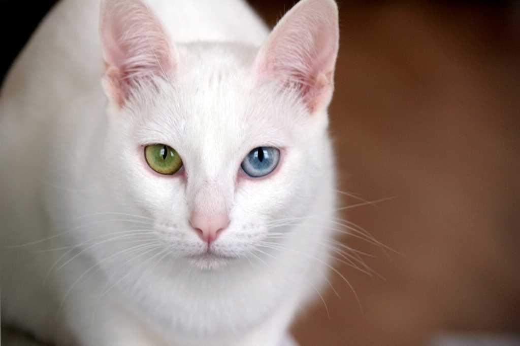 Cat Khao Manee