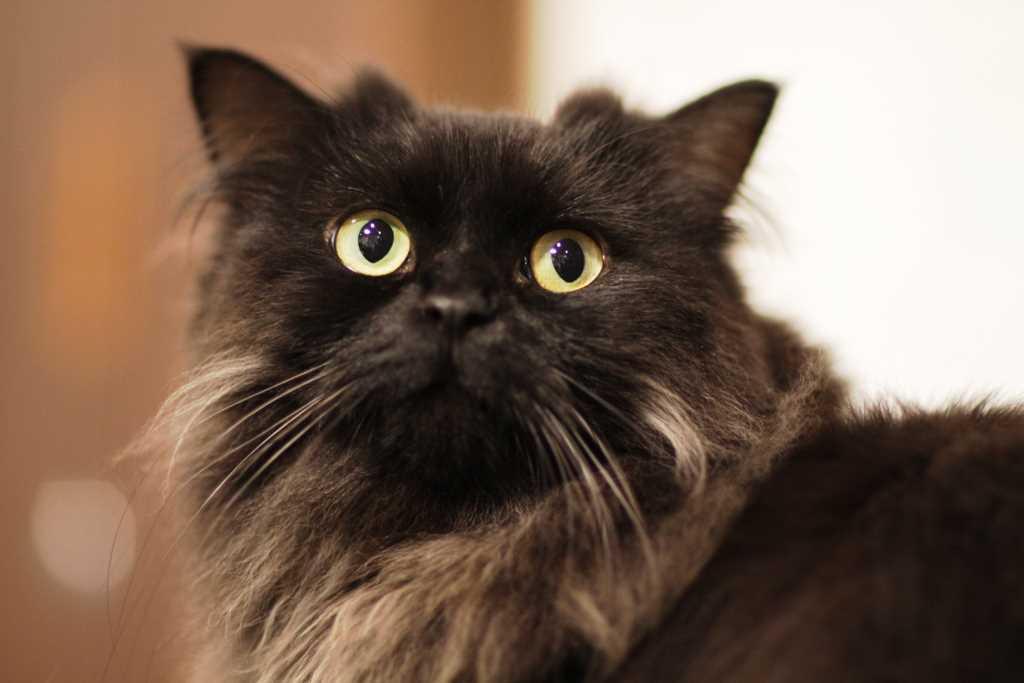Cat LaPerm