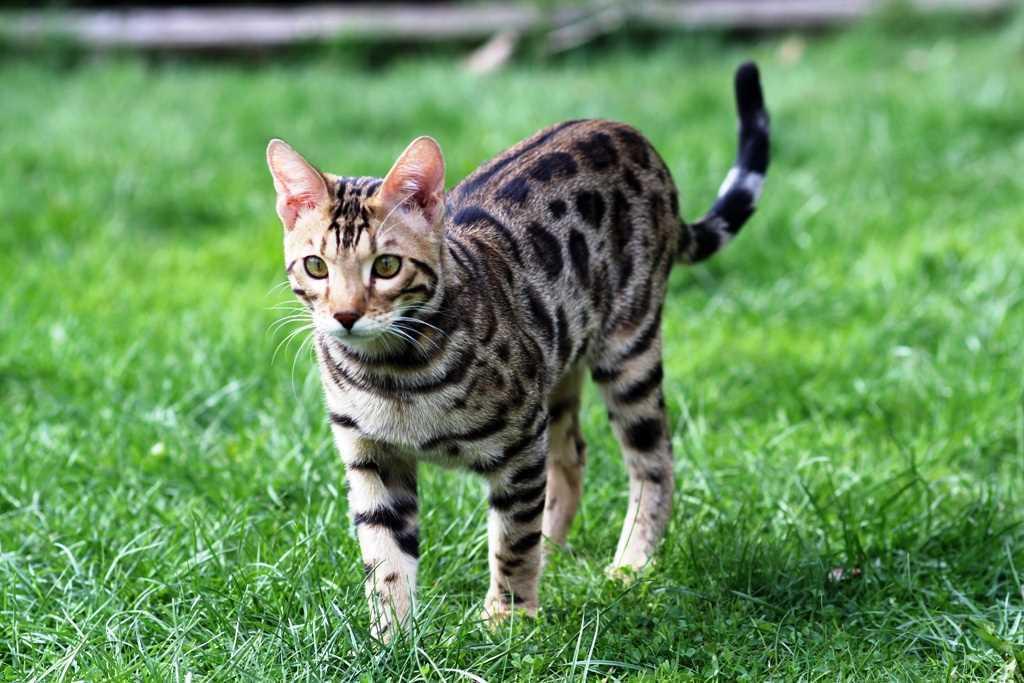 Cat Ocicat