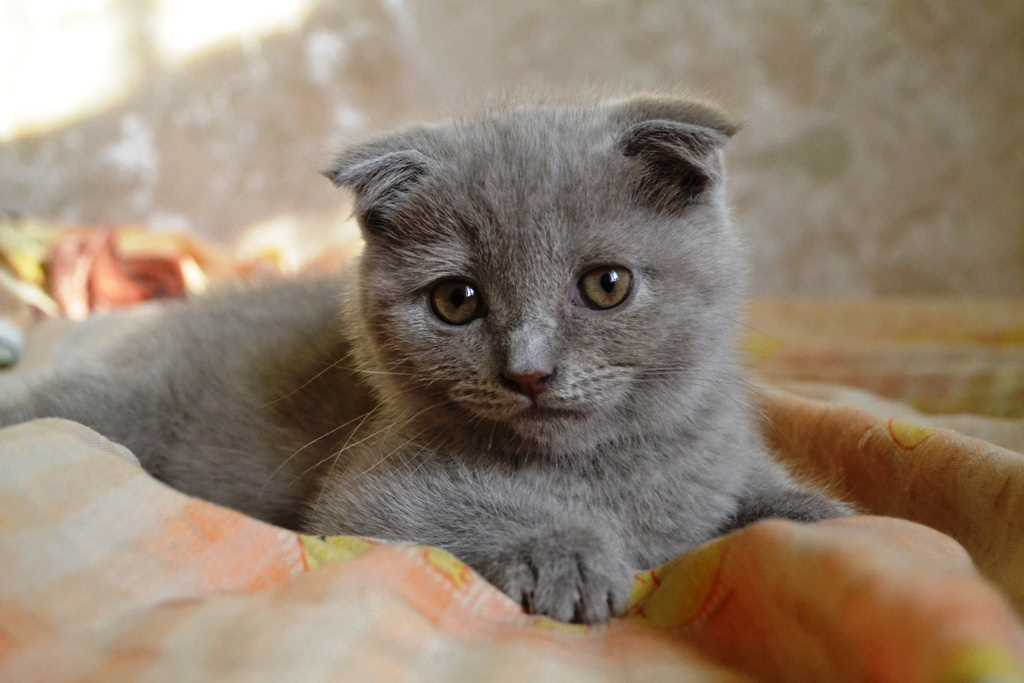 Kat Scottish Fold