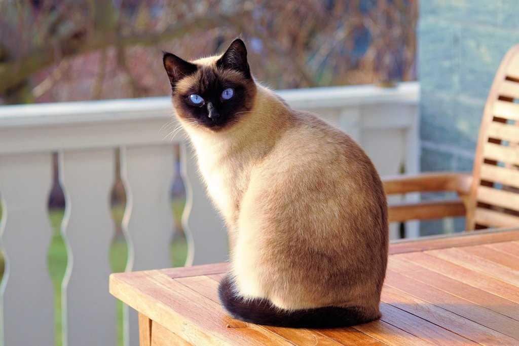 Syjamska rasa kotów