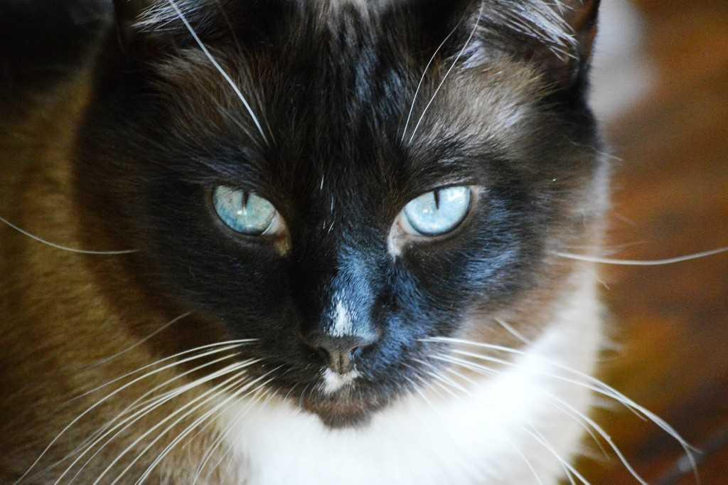 Cat Snowshoe