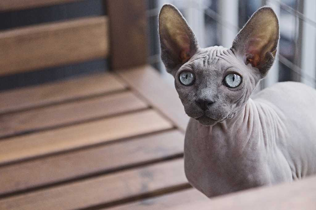 The Sphynx feline breed