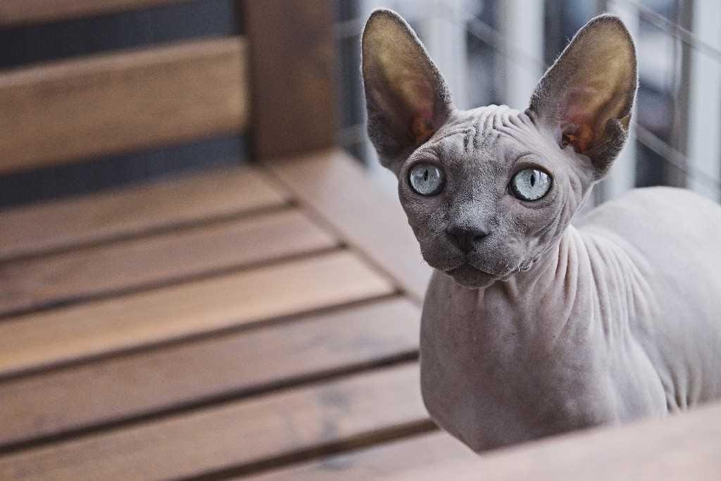 La razza felina Sphynx
