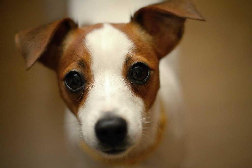 Die Jack Russell Terrier Hunderasse